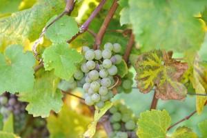 Gesunde Trauben sind die Basis für einen guten Wein. Foto: Rolf Lorig